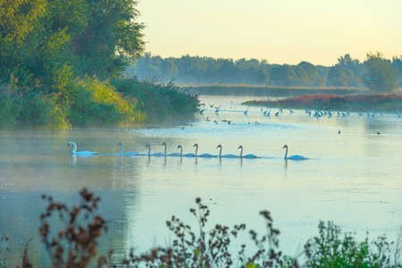 Swans swimming in a row along the edge of a misty lake at sunrise in an early summer morning, Almere, Flevoland, The Netherlands, September 2, 2020