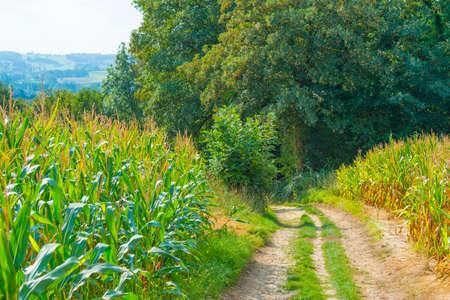 Corn growing in a green hilly grassy landscape under a blue sky in sunlight at fall, Voeren, Limburg, Belgium