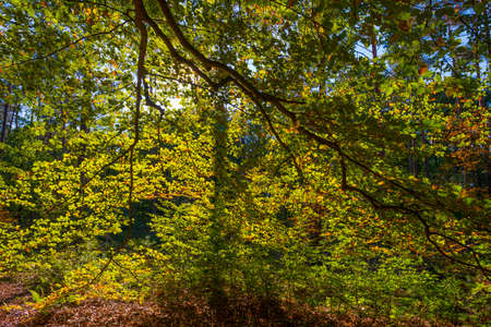 Trees in autumn colors in a forest in bright sunlight at fall, Baarn, Lage Vuursche, Utrecht Stock Photo