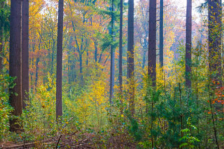 Trees in autumn colors in a forest in bright sunlight at fall, Baarn, Lage Vuursche, Utrecht, The Netherlands Banco de Imagens