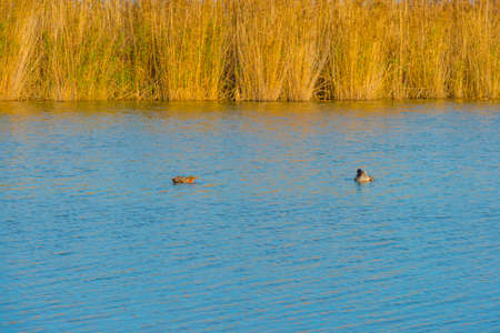 Reed along the edge of a lake in wetland under a blue cloudy sky in sunlight in autumn Standard-Bild