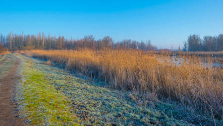 Reed along the misty sunny edge of a frozen lake in wetland in foggy sunlight below a blue sky in winter, Almere, Flevoland, The Netherlands