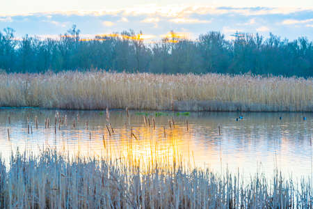 Reed along the edge of a lake in wetland in sunlight at sunrise in winter, Almere, Flevoland, The Netherlands, February 26, 2021