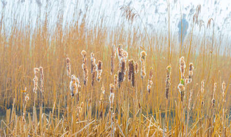 Reed along the misty edge of a lake in wetland in bright foggy sunlight in winter