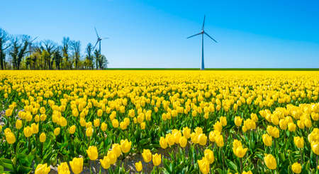 Colorful tulips and wind turbines in an agricultural field in blue sunlight in spring, Noordoostpolder, Flevoland, The Netherlands, April 26, 2021