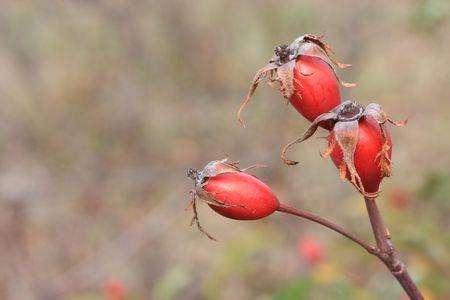 briar bush: three wild rose hips on blurred background