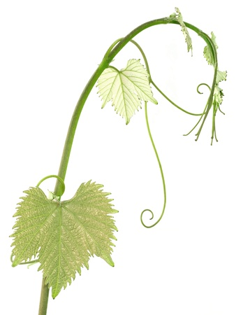 tendrils: vine sprout isolated on white background