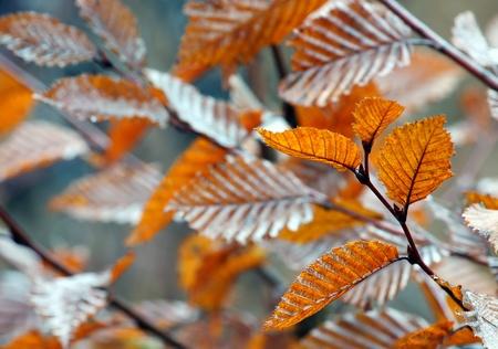beech tree: leaves on beech tree branch Stock Photo