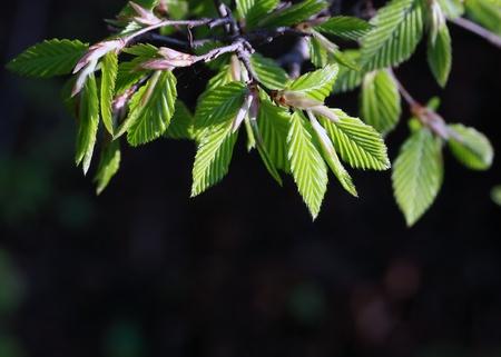 beech tree: Fresh green spring beech tree leaves  Stock Photo