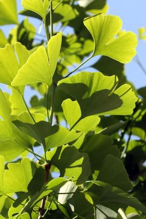 Back lit green leaves of Ginkgo biloba Standard-Bild