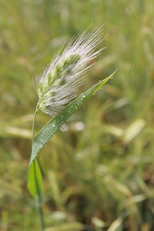 Stem of rye with water-drops photo