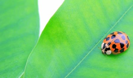 close-up of ladybug on green leaf Stock Photo - 12930304