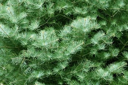 green tone: fir tree background in green tone