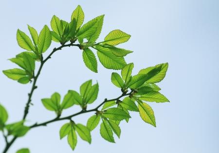 beech tree: Fresh green spring beech tree leaves