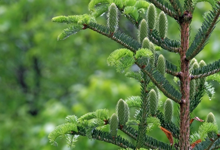 new fir branch in spring forest, green tone