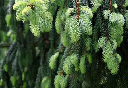 green tone: new fir branch in spring forest, green tone
