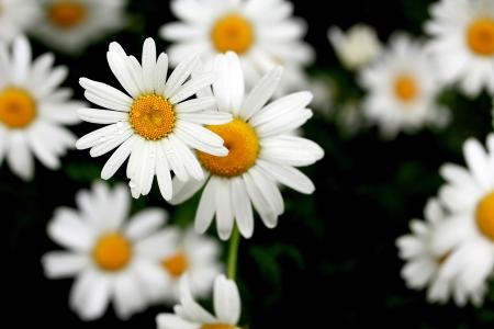 shasta daisy: white daisies covered with rain-drops on dark background Stock Photo