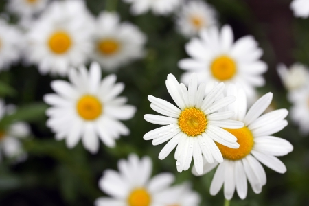 white daisies covered with rain-drops on dark background photo