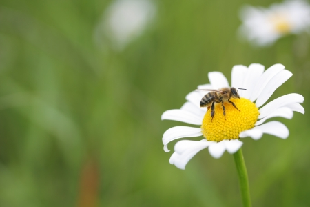 flowerhead: honey bee on white daisy flower-head Stock Photo