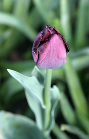 purple tulip covered with dew drops Stock Photo - 13811147