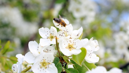 pollinate: honey bee pollinate Pear blossom Stock Photo