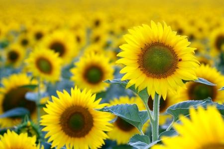 sunflowers field, selective focus on single sunflower with ladybug on it Standard-Bild