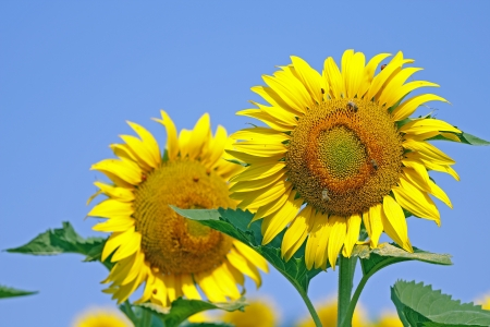 macro of sunflowers on blue sky, selective focus photo
