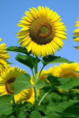 sunflower field on blue sky, focus on single flower photo
