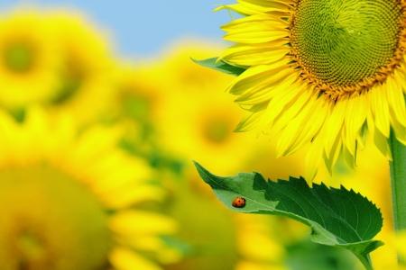 macro of ladybug on sunflower leaf