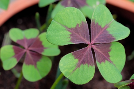four leaved: Close-up shot of a four leaved clover, selective fosuc with copy space Stock Photo