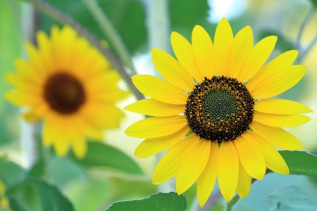 selective focus on single sunflower, blured second flower