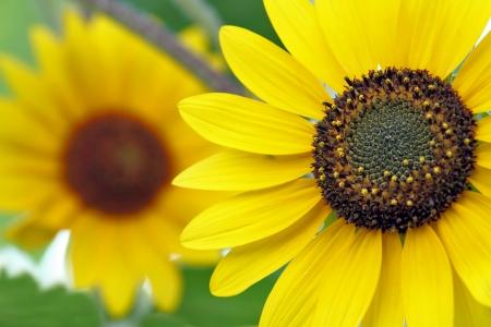 macro ot sunflower, selective focus on foreground