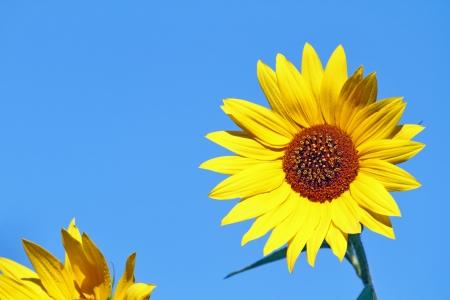 macro of sunflowers on blue sky, selective focus