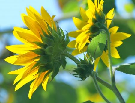 Sunflowers Staring At The Sun on green  Standard-Bild