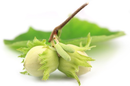 two green hazelnuts on white