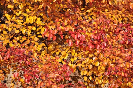 red and orange autumn wild pear leaves