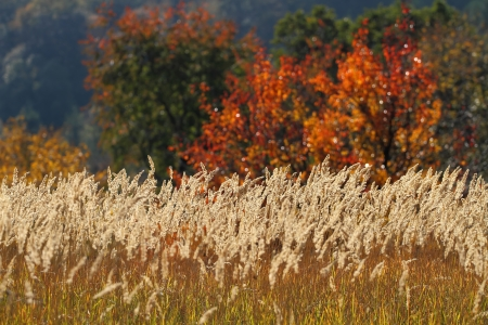 brightly lit wheats in front of autumn colered trees Standard-Bild