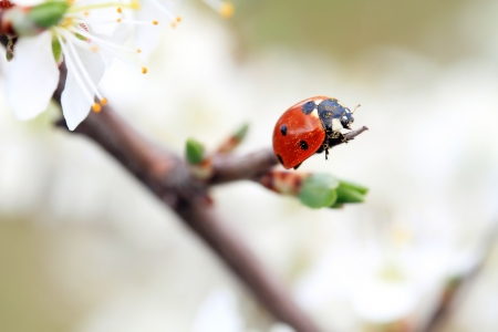 red ladybug on white spring flower Standard-Bild