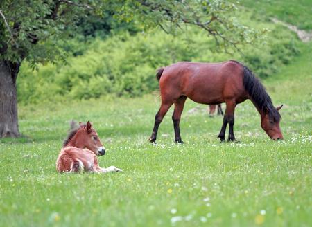 Baby Foal Horse resting on greeen meadow