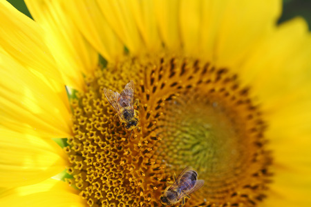 two Bee on a sunflower, macro with selective focus and copy space