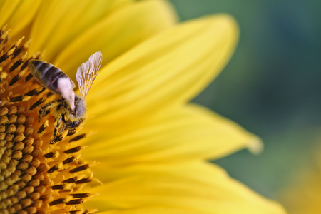 Bee on a sunflower, macro with selective focus and copy space