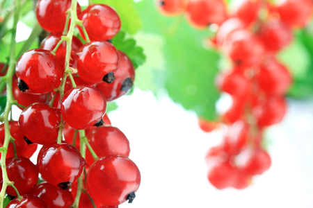Red currants on white background, selective focus with copy space Standard-Bild