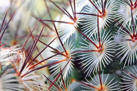 Macro shot of a cactus' spikes