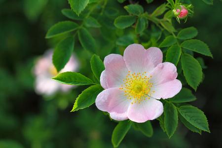 macro of spring blossom of wild rose, hip bush, selective focus Standard-Bild