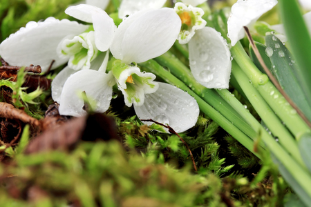 Snowdrop with drops of dew on a background of green moss. closeup. horizontal