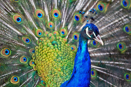 animal head: beautiful male indian peacock showing its feathers