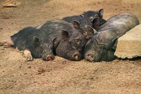 cute pig family relaxing during hot sunny day