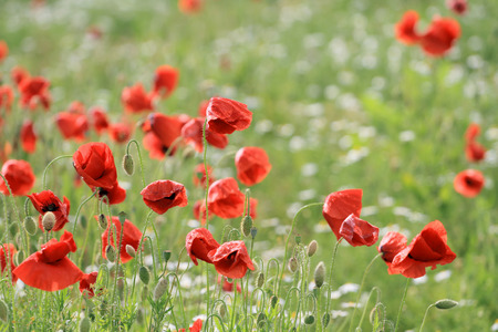 Red Poppy on green meadow covered with small, white flowers