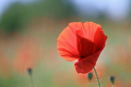dof: single poppy on shallow DOF background
