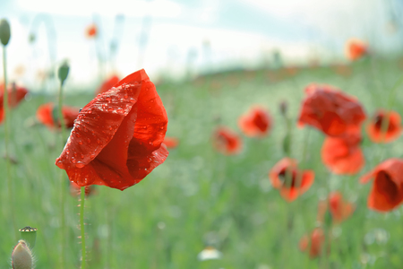 poppy covered with raindrops, selective focus with copy space Standard-Bild